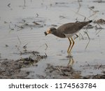 Grey Headed Lapwing  Water Bird ...