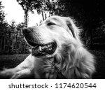Akba   Anatolian Shepherd Dog...
