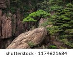 exotic isolated ancient pine... | Shutterstock . vector #1174621684