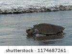 turtle lepidochelys kempii on... | Shutterstock . vector #1174687261