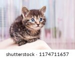 A Young Cute Little Kitten Wit...