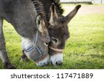 Two Donkeys Eating Grass With...