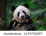 happy panda bear waving at the... | Shutterstock . vector #1174755457