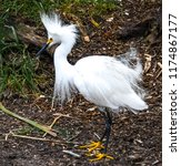 close up of a snowy egret... | Shutterstock . vector #1174867177