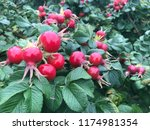 red rosehips are ready to bloom | Shutterstock . vector #1174981354