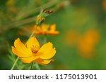 yellow cosmos or cosmos... | Shutterstock . vector #1175013901