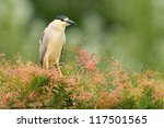 Black-crowned Night Heron (Nycticorax nycticorax). Patagonia, Argentina, South America. - stock photo