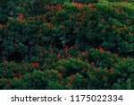 scarlet ibis  eudocimus ruber ...   Shutterstock . vector #1175022334