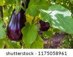 australain home grown eggplant | Shutterstock . vector #1175058961