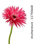 single red gerbera daisy | Shutterstock . vector #11750668