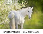 Beautiful White Horse In Spring ...