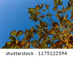 the branches of tree stand...   Shutterstock . vector #1175122594