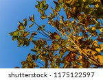 the branches of tree stand... | Shutterstock . vector #1175122597