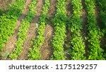 edible greens in the garden...   Shutterstock . vector #1175129257