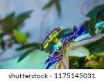 passion flower passiflora... | Shutterstock . vector #1175145031