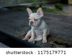 french bulldog puppy looking...   Shutterstock . vector #1175179771