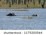 Hippopotamus Lying Low In A...