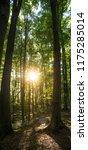 beech forest. beech is a... | Shutterstock . vector #1175285014