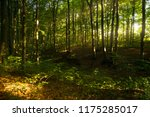 beech forest. beech is a... | Shutterstock . vector #1175285017