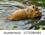 siberian tiger  panthera tigris ... | Shutterstock . vector #1175286481