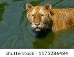 siberian tiger  panthera tigris ... | Shutterstock . vector #1175286484