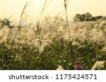 close up common reed  common...   Shutterstock . vector #1175424571