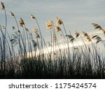 close up common reed  common...   Shutterstock . vector #1175424574