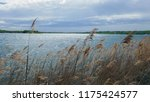 close up common reed  common...   Shutterstock . vector #1175424577