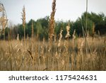 close up common reed  common...   Shutterstock . vector #1175424631