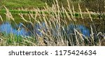 close up common reed  common...   Shutterstock . vector #1175424634