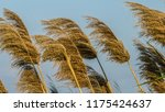 close up common reed  common...   Shutterstock . vector #1175424637