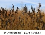 close up common reed  common...   Shutterstock . vector #1175424664
