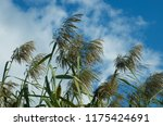 close up common reed  common...   Shutterstock . vector #1175424691
