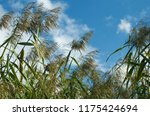 close up common reed  common...   Shutterstock . vector #1175424694