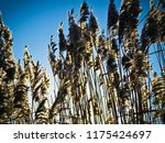 close up common reed  common...   Shutterstock . vector #1175424697