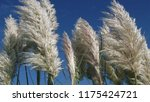 close up common reed  common...   Shutterstock . vector #1175424721