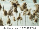 close up common reed  common...   Shutterstock . vector #1175424724