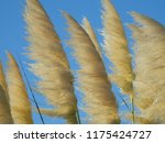 close up common reed  common...   Shutterstock . vector #1175424727