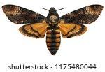 achatina moth butterfly moth's...   Shutterstock . vector #1175480044
