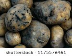 potato harvest is destroyed by... | Shutterstock . vector #1175576461