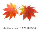 autumn maple leaves | Shutterstock . vector #1175585554