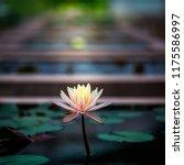 beautiful blooming lotus or ... | Shutterstock . vector #1175586997