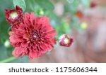 deep red mum   chrysanthemum... | Shutterstock . vector #1175606344