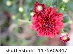 deep red mum   chrysanthemum... | Shutterstock . vector #1175606347