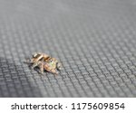 a colorful bold jumping spider... | Shutterstock . vector #1175609854
