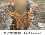 ant trying to climb over the... | Shutterstock . vector #1175661724