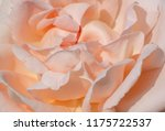 close up of pink rose flower | Shutterstock . vector #1175722537