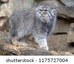 pallas' cat  otocolobus manul ... | Shutterstock . vector #1175727004