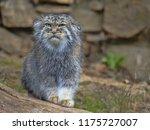pallas' cat  otocolobus manul ... | Shutterstock . vector #1175727007