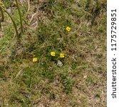tormentil  potentilla erecta ... | Shutterstock . vector #1175729851